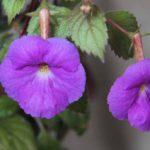 Purple Achimenes
